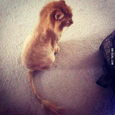 Lion cat breed