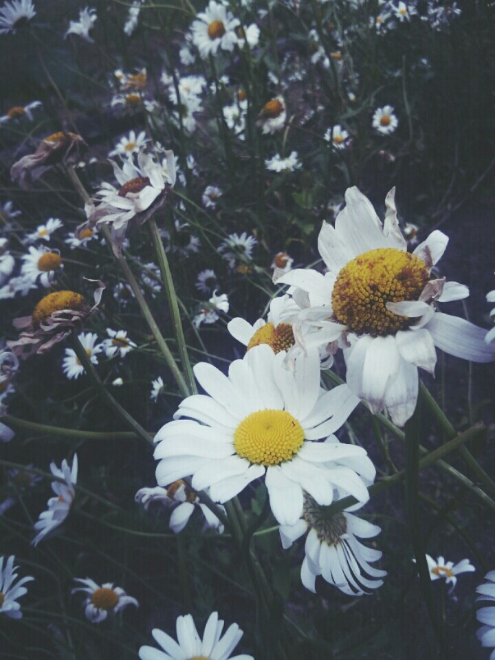 autumn, chamomile, flower and green