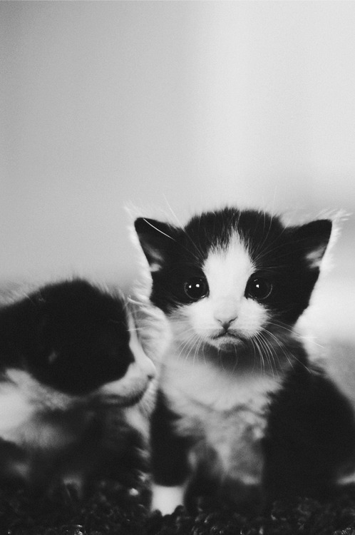 animals, beautiful, black and white, black cats, cat, cats, dark cats, sad, whiskers