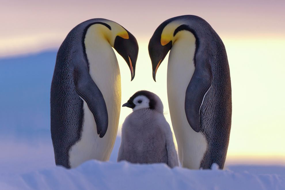 animals, birds, cute, family, penguins, photography