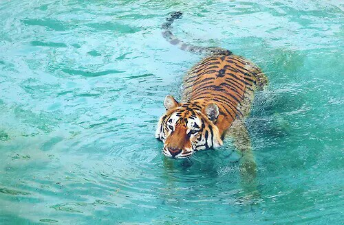 Tiger image 3123942 by ksenia l on for Life of pi animals
