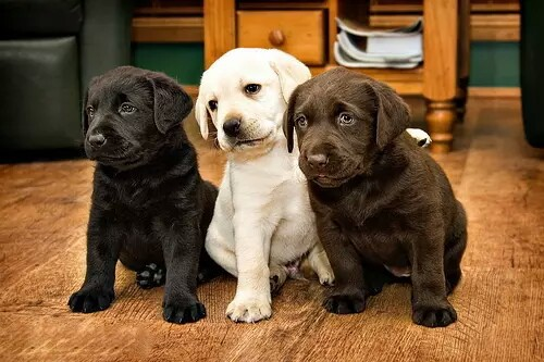 cute, dogs, girls and labrador