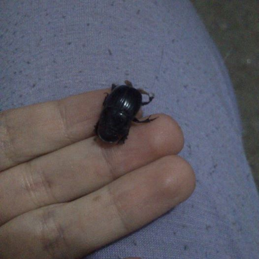 beetle, insect, insecto, natural, Cascarudo