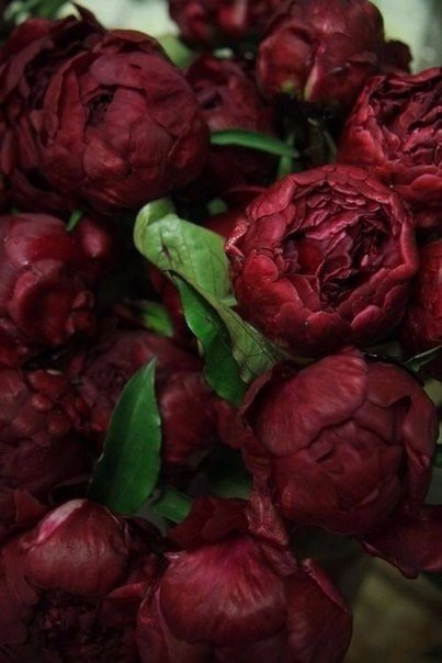 background, bordo, bouquet, chic, fleurs, flowers, inspiration, peonies, peony, pink, wallaper