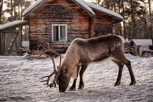 animals, beautiful, cabin, christmas, cold, cozy, cute, deer, forest, home, house, nature, reindeer, snow, snowing, weather, winter, woods, antlets