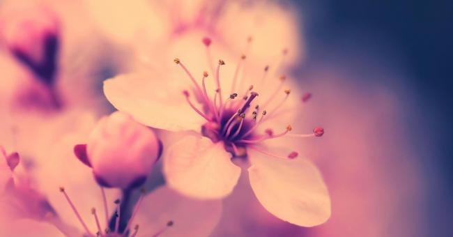 bacground, blossom, cherry and flower