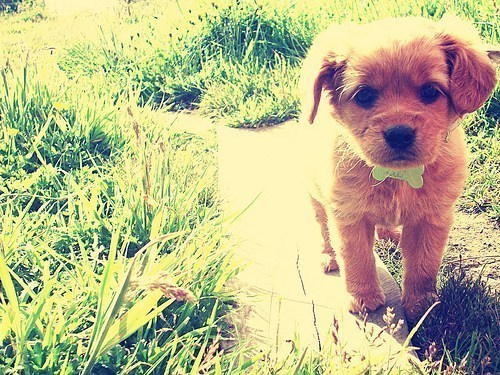 adorable, bone, cute, dog, dream coconut, golden retriever, grass, green, lovable, love, puppy, small, summer, sweet, wonderful, young