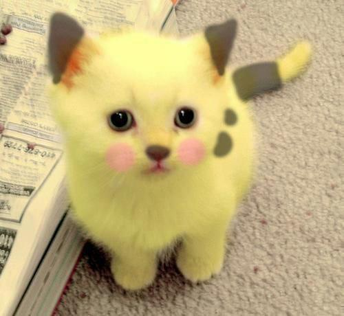 amazing, cat, cute, mignon, pets, pikachu, pikachu cat, pokemon, yellow