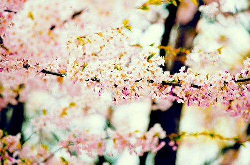 beautiful, cherry blossoms, floral, flower, flowers