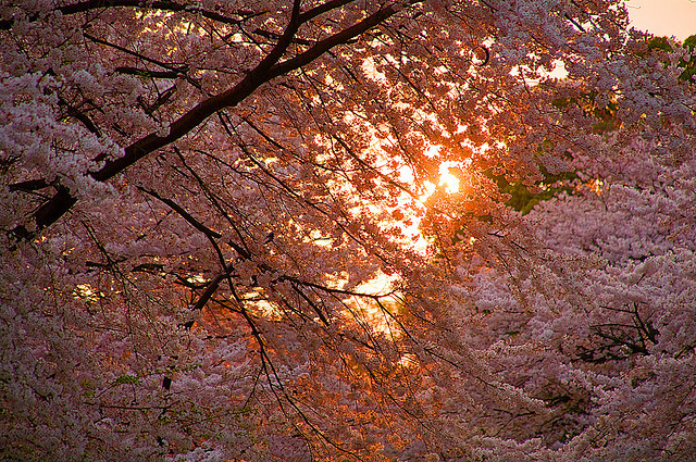 cherry blossom, japan, sakura, tree