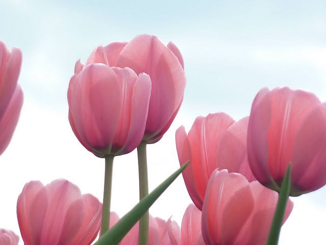 cute, flowers, pink, tulips