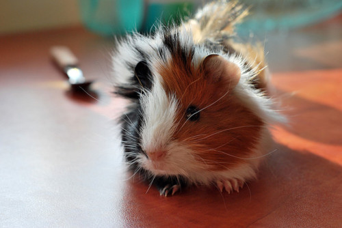 guinea pig 333