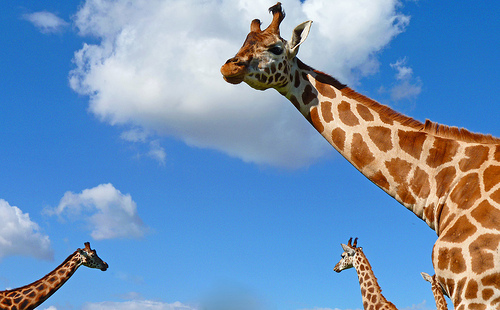 animals, giraffes, photography