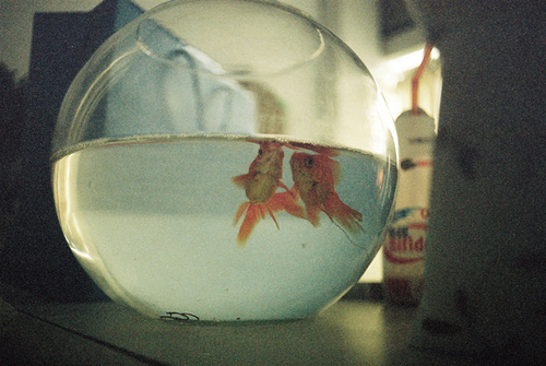 aquarium, couple, film grain, fish, goldfish