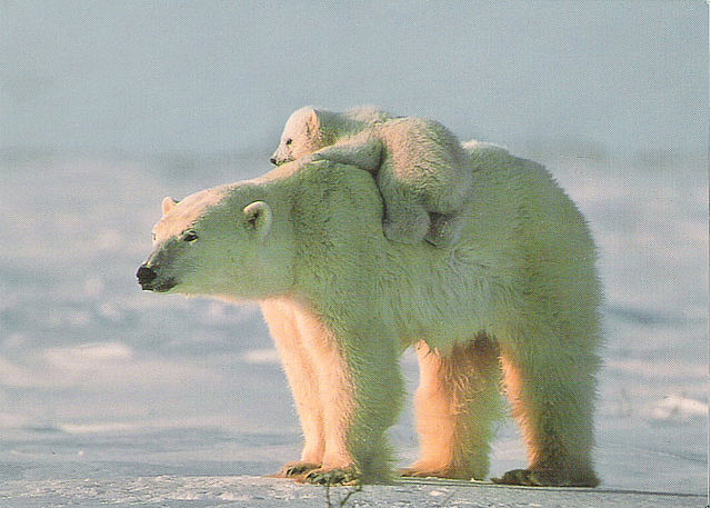 baby, bear, polar, snow, white