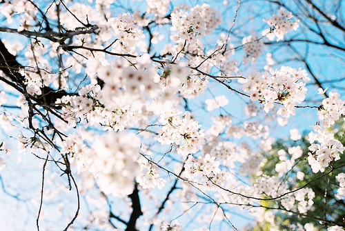 beautiful, blue & pink, cherry blossom, cherry blossoms, floral