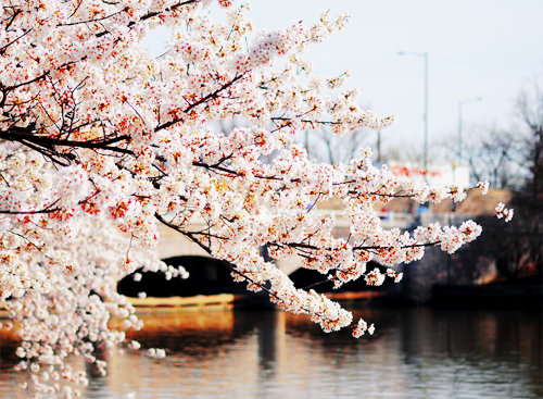 beautiful, bridge, cherry blossom tree, flowers, romantic, sakura, tree
