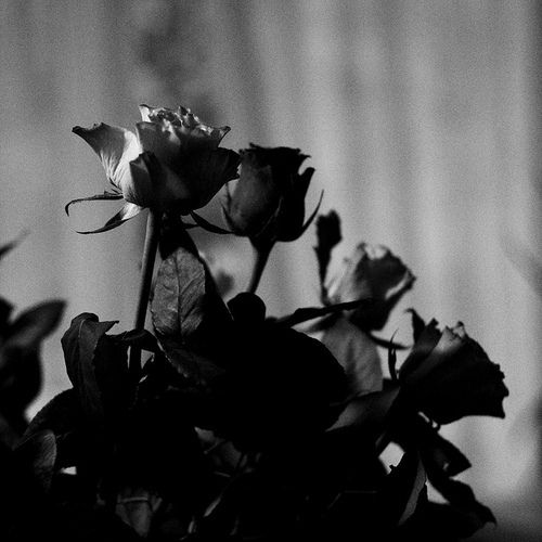 black and white, flower, lovely, photography, rose