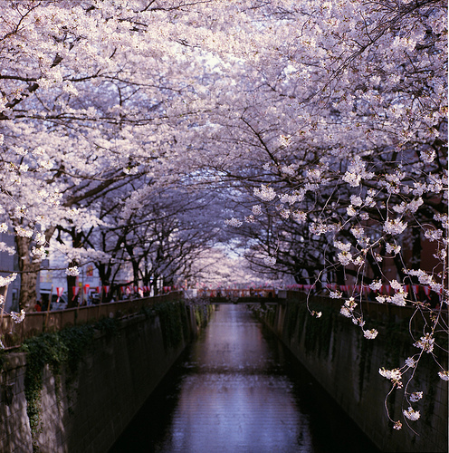 blossom, cherry, japan, nature, pink, river, tree