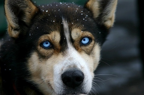 Cute Dogs With Blue Eyes