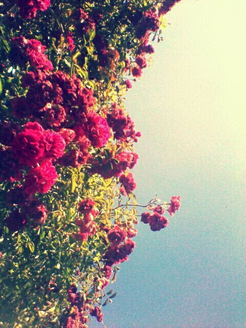 blue sky, breeze, flowers, mini roses, pink
