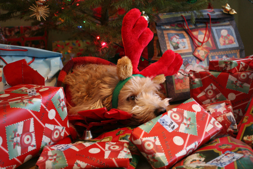 adorable, animal, beautiful, beauty, christmas, dog, image, missia, orange, photo, photography, puppy