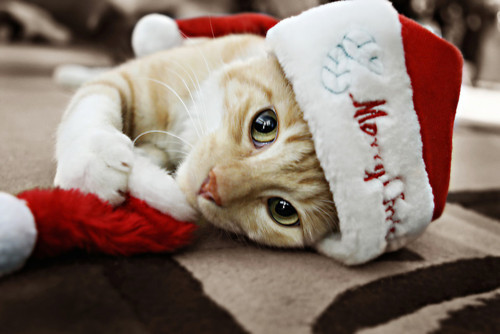 animal, cat, chatte, christmas, cute, kitty, la neige, mignonne, papa noel, red