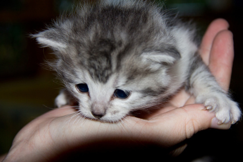 adorable, animal, baby, cat, cute, fluffy, kitten, kitty, tabby