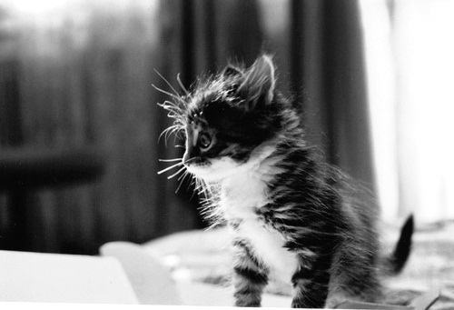 adorable, animal, black and white, cat, cute