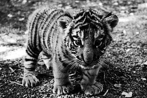 adorable, b&amp;w, black and white, cute, tiger