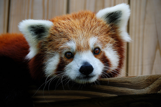 adorable, cute, panda, pretty, red