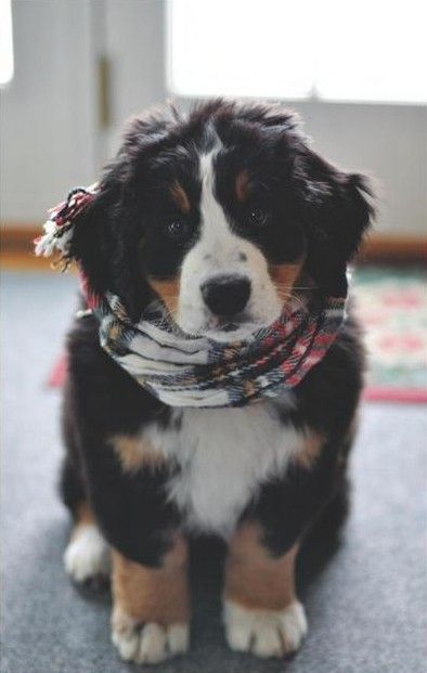 amazing, animal, animals, bernese mountain dog, boy, cute, dog, dogs, fashion, love, photography, pretty, vintage