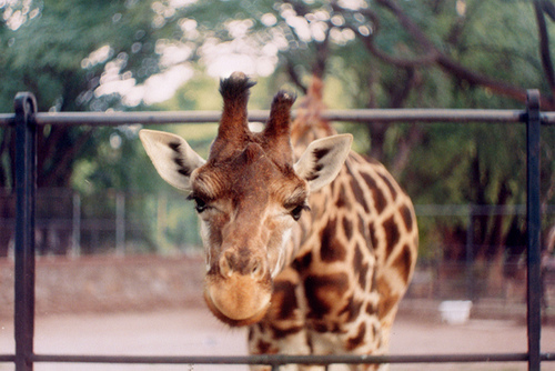 animal, animals, beauty, cute, giraffe