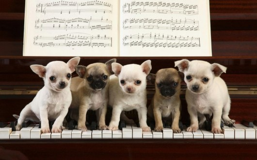 animal, chihuahua, cute, dog, music, photography, piano, puppies, puppy