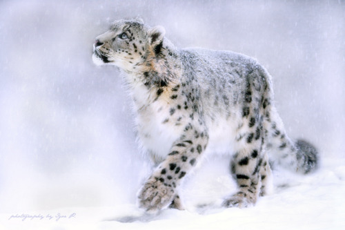 animal, cold, cute, fluffy, leopard, snow, snow leopard