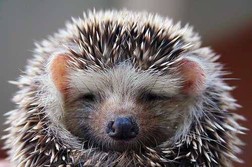 animal, cute, hedgehog, photography