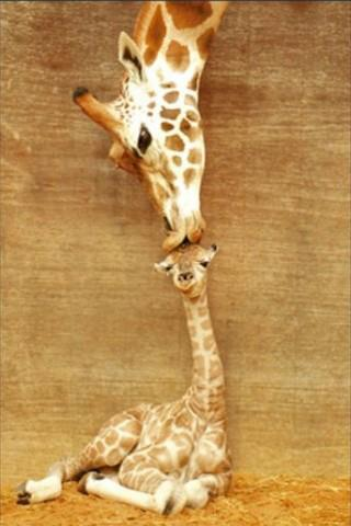 animals, baby, cute, giraffe, kiss