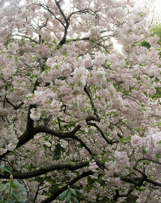 asian, beautiful, cherry, cherry blossom, cherry blossom tree, earth, flowers, green, japan, japanese, nature, photography, pink, sakura, sakura tree, sky, sun, traditional, tree, white