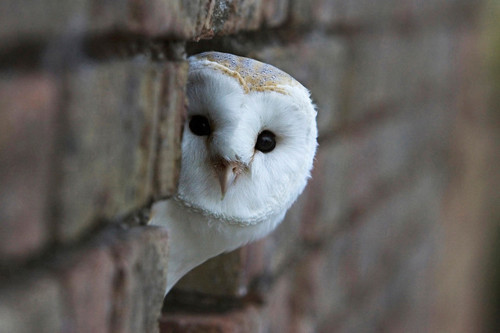 barn owl , cute, owl, photo, pretty