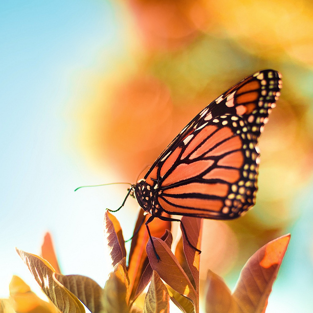 beautiful, blue, blurring, butterfly, camera
