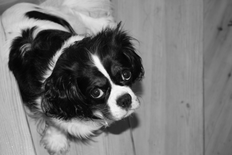 black and white, cavalier king charles spaniel, cute, dog, marie vangstad