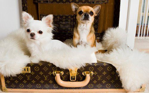 cute, dog, dogs, fashion, fur, louis vuitton, luggage, pretty, puppies, puppy, louis vuitton bag