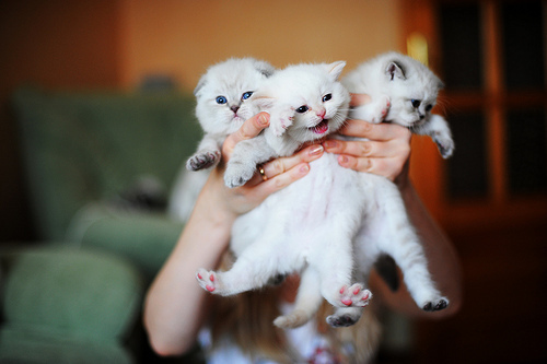 adorable, animals, beautiful, blue eyes, cat, cats, cute, funny, nice, ooyys, white