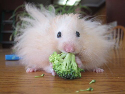 adorable, broccoli, cute, fluffy, hamster, long haired hampster