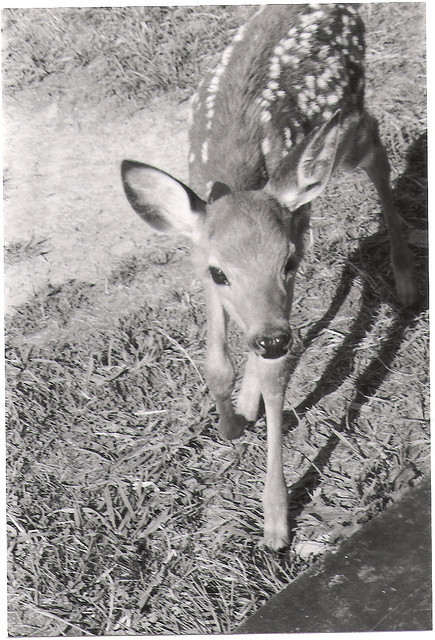 animal, b & w, black, black and white, cute, deer, fawn, nature, white