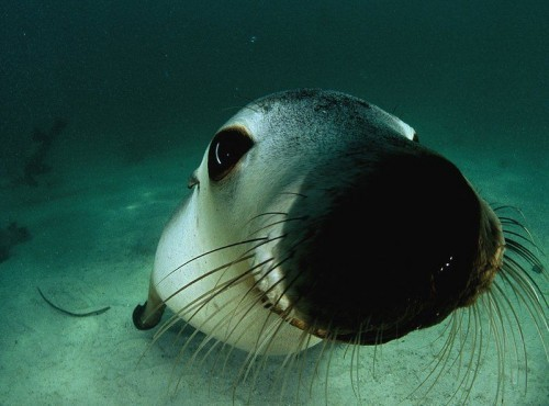 animal, cute, seal