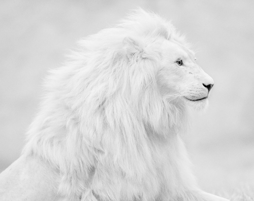 animal, edit, lion, photography, white