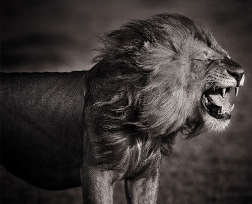 animals, black and white, lion, photography