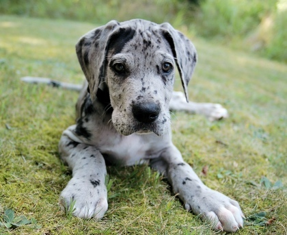 Great Dane Puppies on Animals  Cute  Dogs  Great Dane  Puppies   Inspiring Picture On Favim