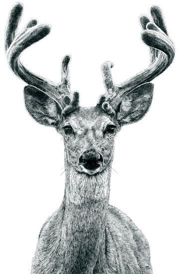 antlers, buck, deer, drawing